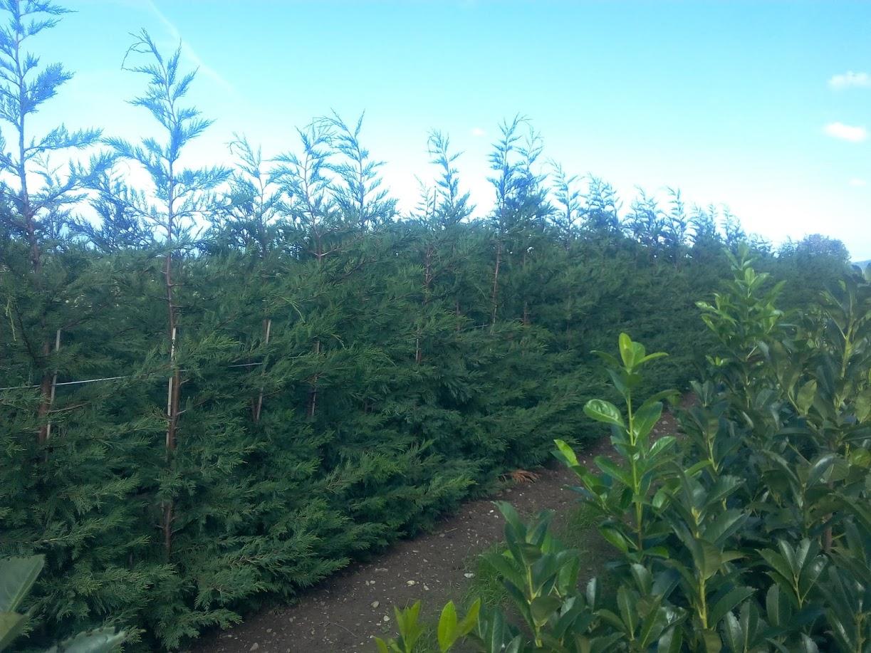 Production d'arbres Haute-Savoie